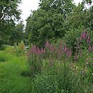Purple Loosestrife by Robert Abraham