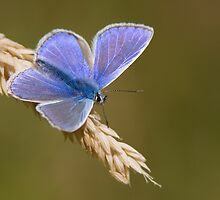 Common Blue by Neil Bygrave (NATURELENS)
