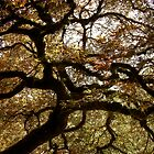 Japanese Maple - PDX by orangedana