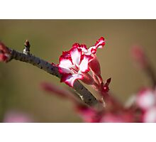 Impala Lily Photographic Print