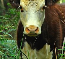Wild Moo by Penny Smith