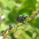 Birds Do It, Bees Do It , Japanese Beetles Do It!!! by debbiedoda