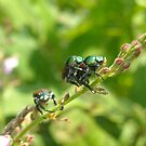 Birds Do It, Bees Do It , Japanese Beetles Do It!!! by debbiedoda