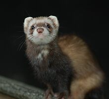 Polecat by Anita52