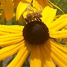 Black-Eyed Susan Bee by Paula Parker