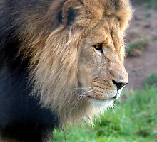 Lion at Melbourne Zoo V by Tom Newman