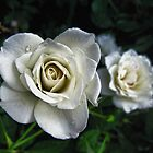 The White Rose by Nukee