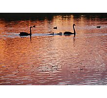 Two swans, three cygnets on Golden Billabong Photographic Print