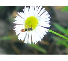 Baby Bee on a Wildflower Photographic Print