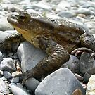 Bufo Bufo Toad Lounging On Stones by taiche