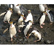 Fluffy Crested Penguin Photographic Print