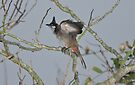 Fledgeling Red-Whiskered Bulbul by David Clarke
