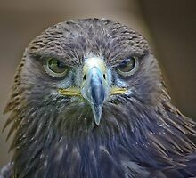 Buzzard (eye contact) by jdmphotography