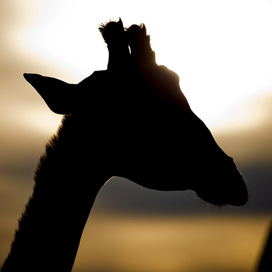 Sunset Giraffe by fatdade