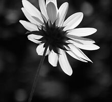 Beautiful Black And White by artisandelimage