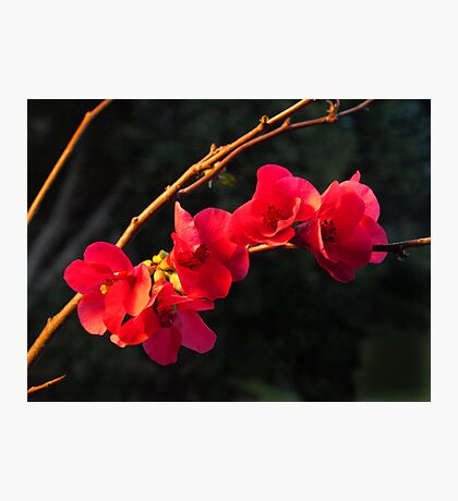 Branch of Japanese Flowering Quince  Photographic Print