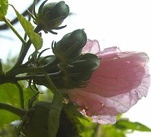 Swamp Rose Mallow #2 by debbiedoda