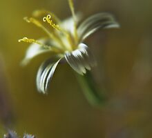 Yellow symphony (from wild flowers collection) by Antanas