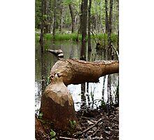 Beaver's Art Photographic Print