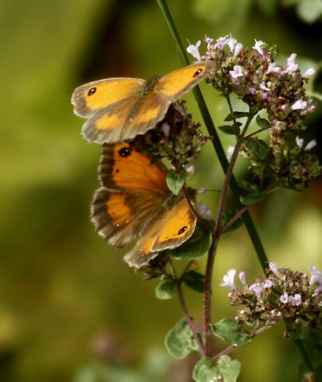 Gatekeeper  Butterflies by AnnDixon