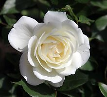 Our First Rose of 2015 by Dennis Melling
