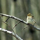 Savannah Sparrow by Bryony Griffiths