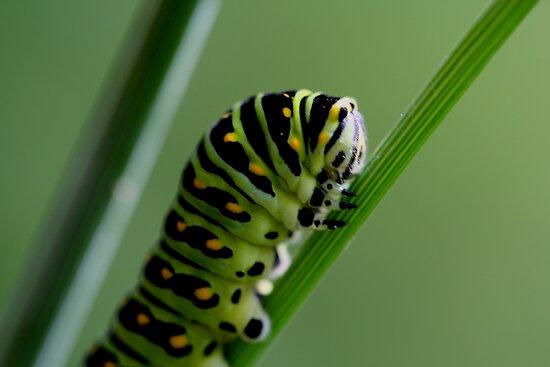 Larva (caterpillar)  by Larry Trupp