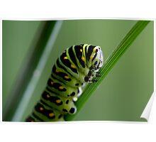 Larva (caterpillar)  Poster