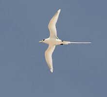 Cool Tropicbird