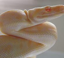 Albino by Reptilefreak