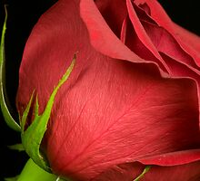 Red Rose by Chad Suber