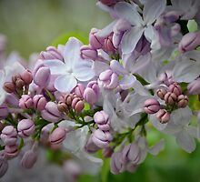 Lilacs by Poete100