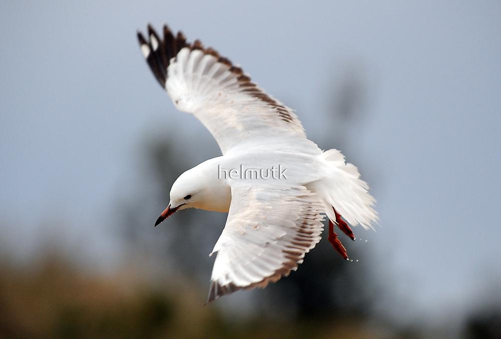 """ Gull on a Mission "" by helmutk"