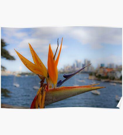 Bird of Paradise (Strelitzia) - Sydney Harbour - Australia Poster
