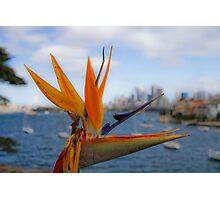 Bird of Paradise (Strelitzia) - Sydney Harbour - Australia Photographic Print