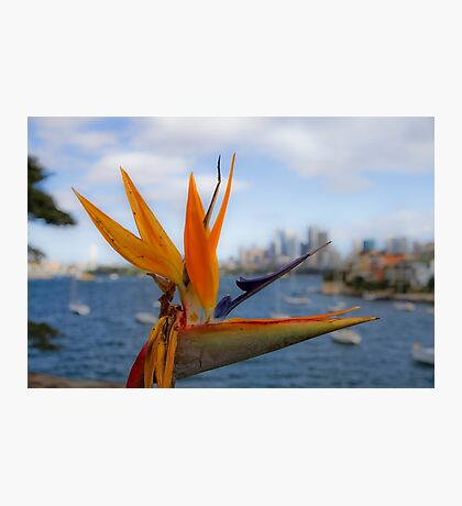 Bird of Paradise (Strelitzia) - Sydney Harbour - Australia Photographic Print