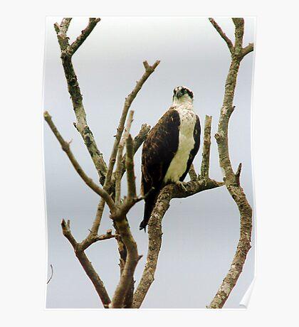 Osprey in tree Poster