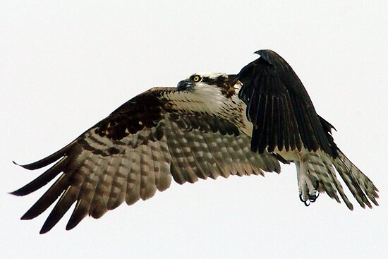 Flying Osprey by Larry  Grayam