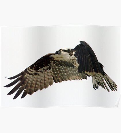 Flying Osprey Poster
