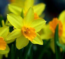 spring flower by annemiek groenhout