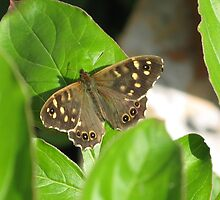 Speckled wood butterfly by Astrid de Cock