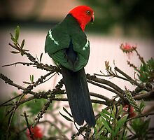 1987 King Parrot (male) Bobs garden Tallangatta  by Fred Mitchell