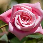 Pink rose  by Margaret Whyte