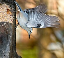white breasted nuthatch 5 2011 by RosiesPhotos