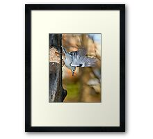 white breasted nuthatch 5 2011 Framed Print