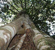 Strangler Fig by Tfirma