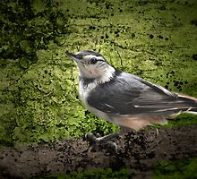 Textured Nuthatch by Lynda  McDonald