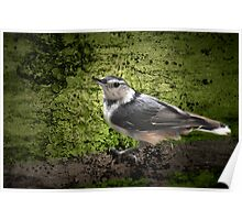 Textured Nuthatch Poster