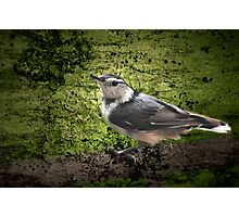 Textured Nuthatch Photographic Print