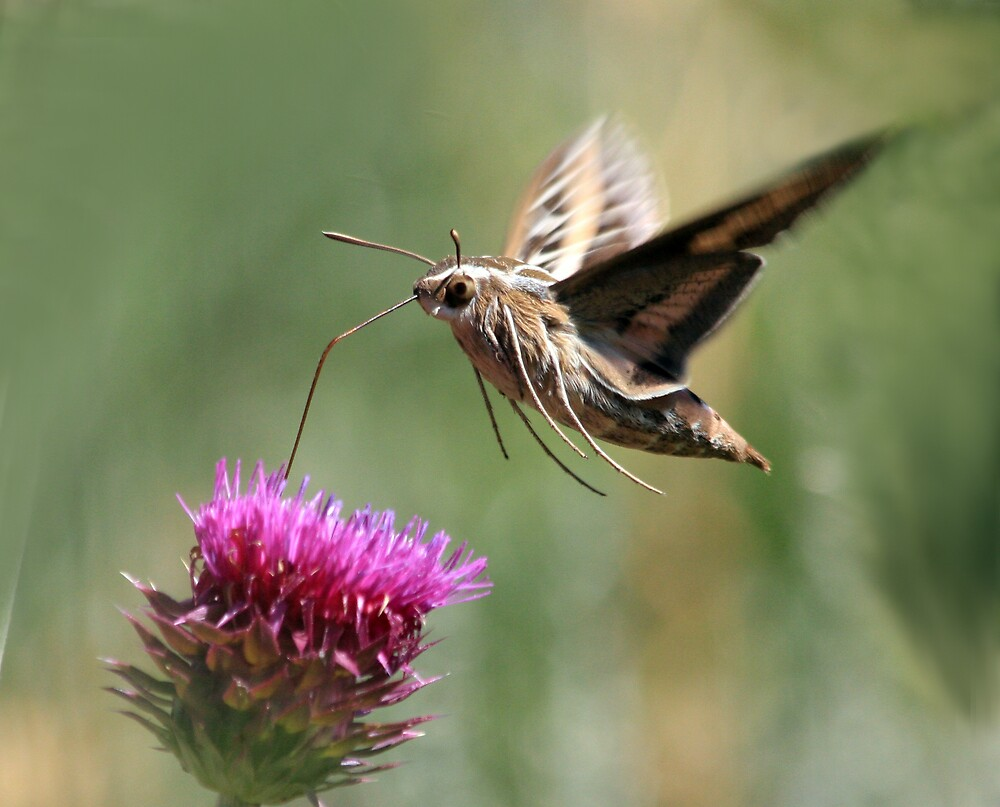 White Lined Sphinx Moth by noffi